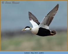 eider-duck- 83.jpg