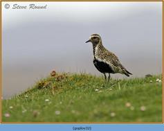 golden-plover-32.jpg