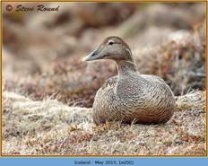 eider-duck- 56.jpg