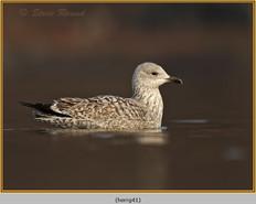 herring-gull-41.jpg
