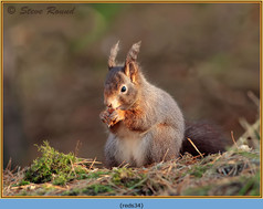 red-squirrel-34.jpg