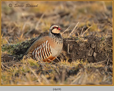 red-legged-partridge-19.jpg