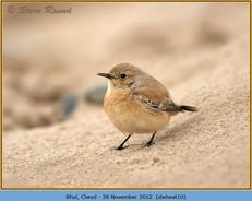 desert-wheatear-10.jpg