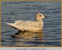 iceland-gull-12.jpg