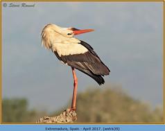 white-stork-39.jpg