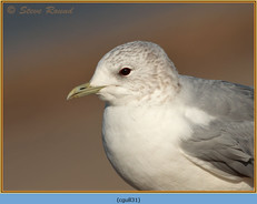 common-gull-31.jpg