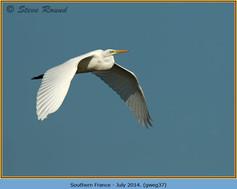 great-white-egret-37.jpg