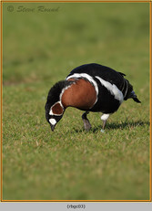 red-breasted-goose-03c.jpg
