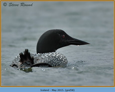 great-northern-diver-58.jpg