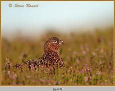 red-grouse-147.jpg
