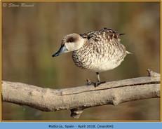 marbled-duck-04.jpg