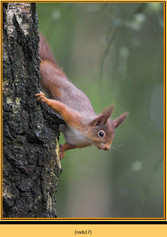 red-squirrel-17.jpg