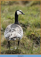 barnacle-goose-17.jpg