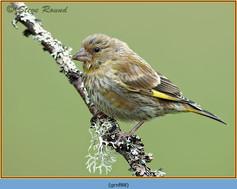 greenfinch-88.jpg