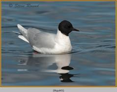 little-gull-45.jpg