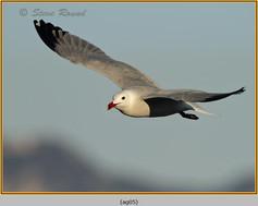 audouin's-gull-05.jpg