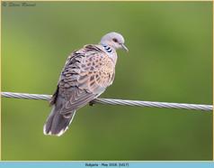 turtle-dove-17.jpg