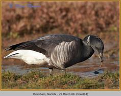 brent-goose-14.jpg