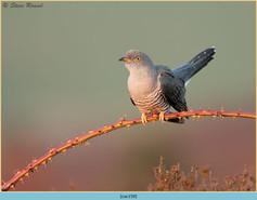 cuckoo-159.jpg