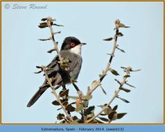 sardinian-warbler-13.jpg
