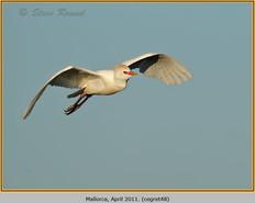 cattle-egret-48.jpg