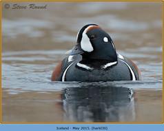 harlequin-duck-30.jpg