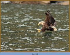 white-tailed-eagle-10.jpg