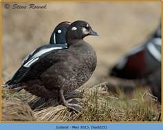 harlequin-duck-25.jpg