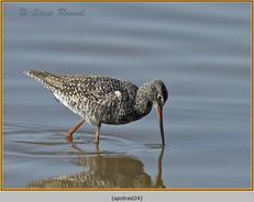 spotted-redshank-24.jpg