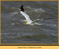 gannet-36.jpg