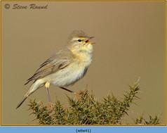willow-warbler-41.jpg