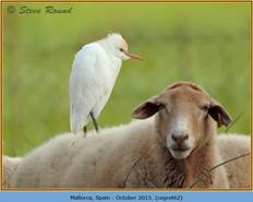 cattle-egret-62.jpg