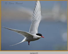 arctic-tern-37.jpg