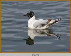 little-gull-10.jpg