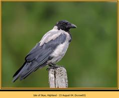 hooded-crow-03.jpg