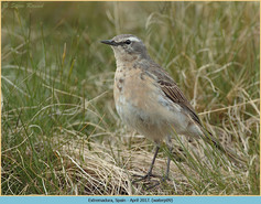 water-pipit-09.jpg