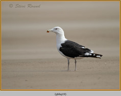 gt-b-backed-gull-19.jpg