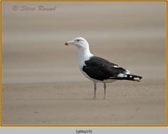 gt-b-backed-gull-19.jpg
