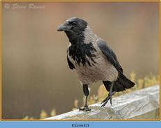hooded-crow-12.jpg