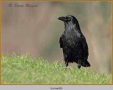carrion-crow-30.jpg