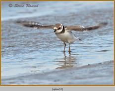 ringed-plover-37.jpg