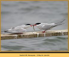 common-tern-04.jpg