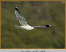 yellow-legged-gull-40.jpg
