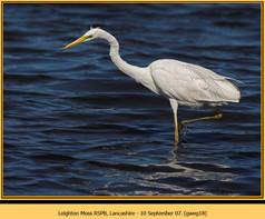 great-white-egret-18.jpg