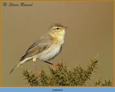 willow-warbler-42.jpg