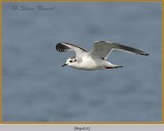 little-gull-12.jpg