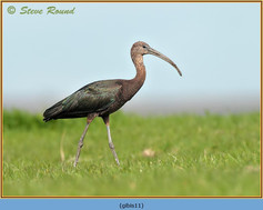 glossy-ibis-11.jpg