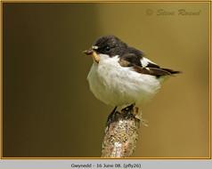 pied-flycatcher-26.jpg