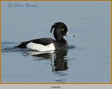 tufted-duck-40.jpg