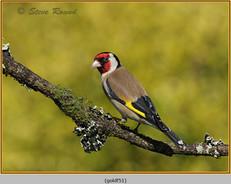 goldfinch-51.jpg